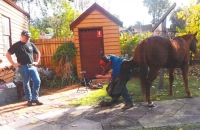 shodding-horse